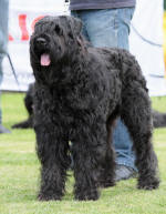 photo de Ahostia de lage baston, bouvier des flandres